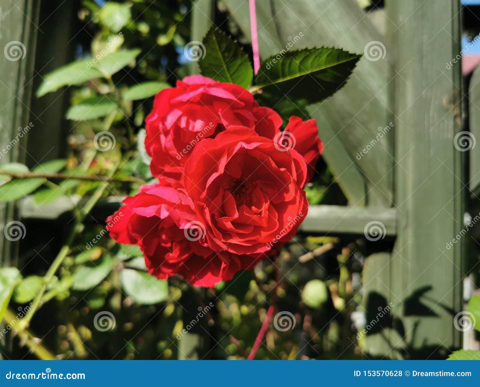 Fleur rose de rouge