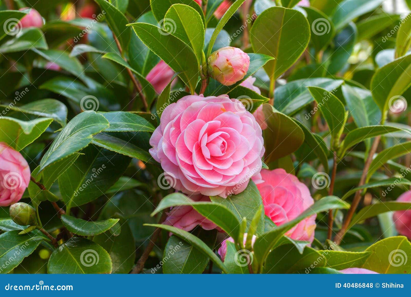 fleur rose de sasanqua de cam lia avec les feuilles vertes. Black Bedroom Furniture Sets. Home Design Ideas
