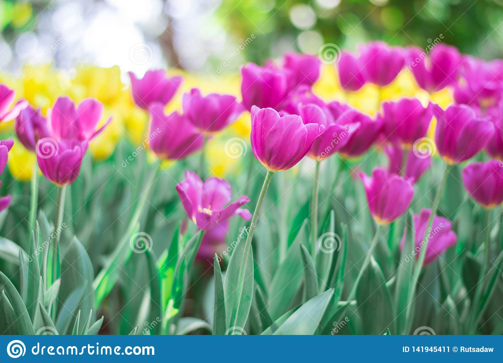 Fleur rose de tulipes dans le jardin