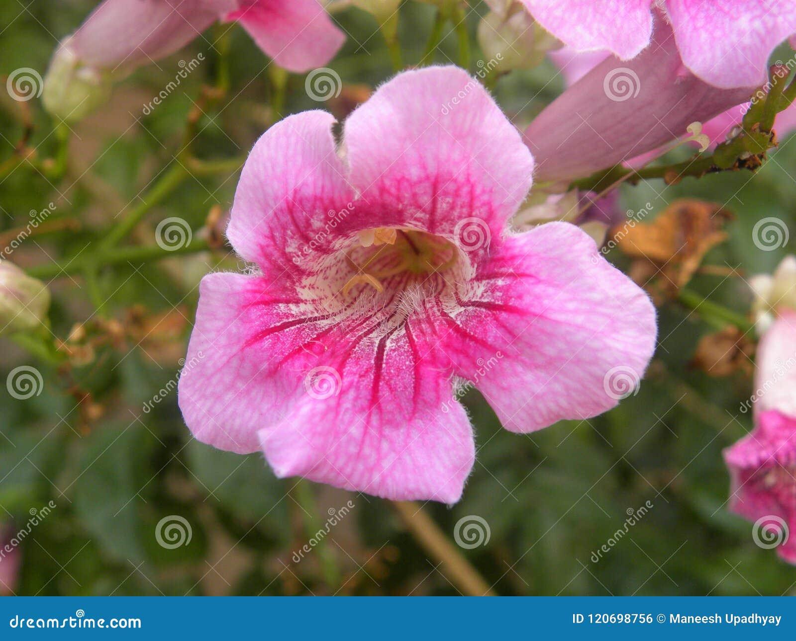 Fleur rose de vigne de trompette