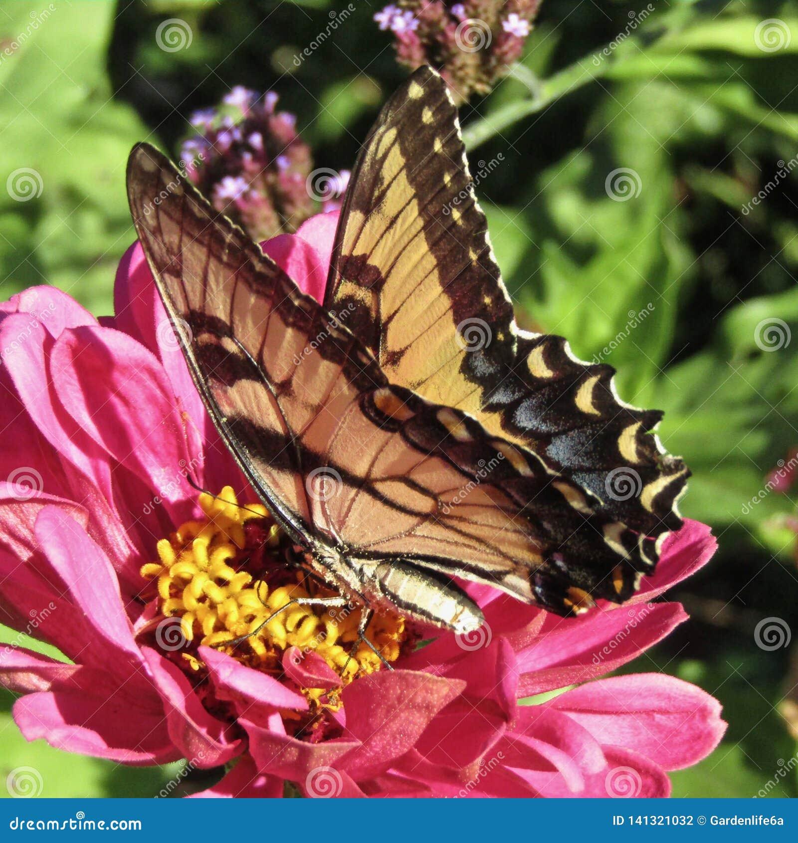 Fleur rose de zinnia fournissant le nectar au glaucus oriental de Papilio de papillon de machaon de tigre