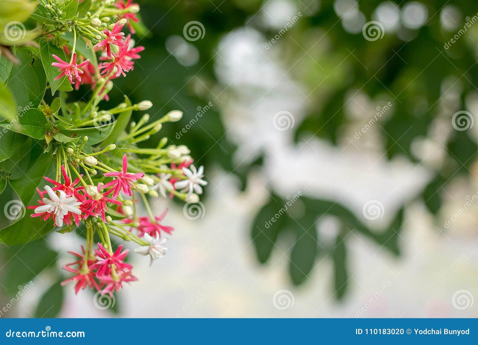 Fleur Rose Et Blanche De Plante Grimpante De Rangoon Sur Le Fond De