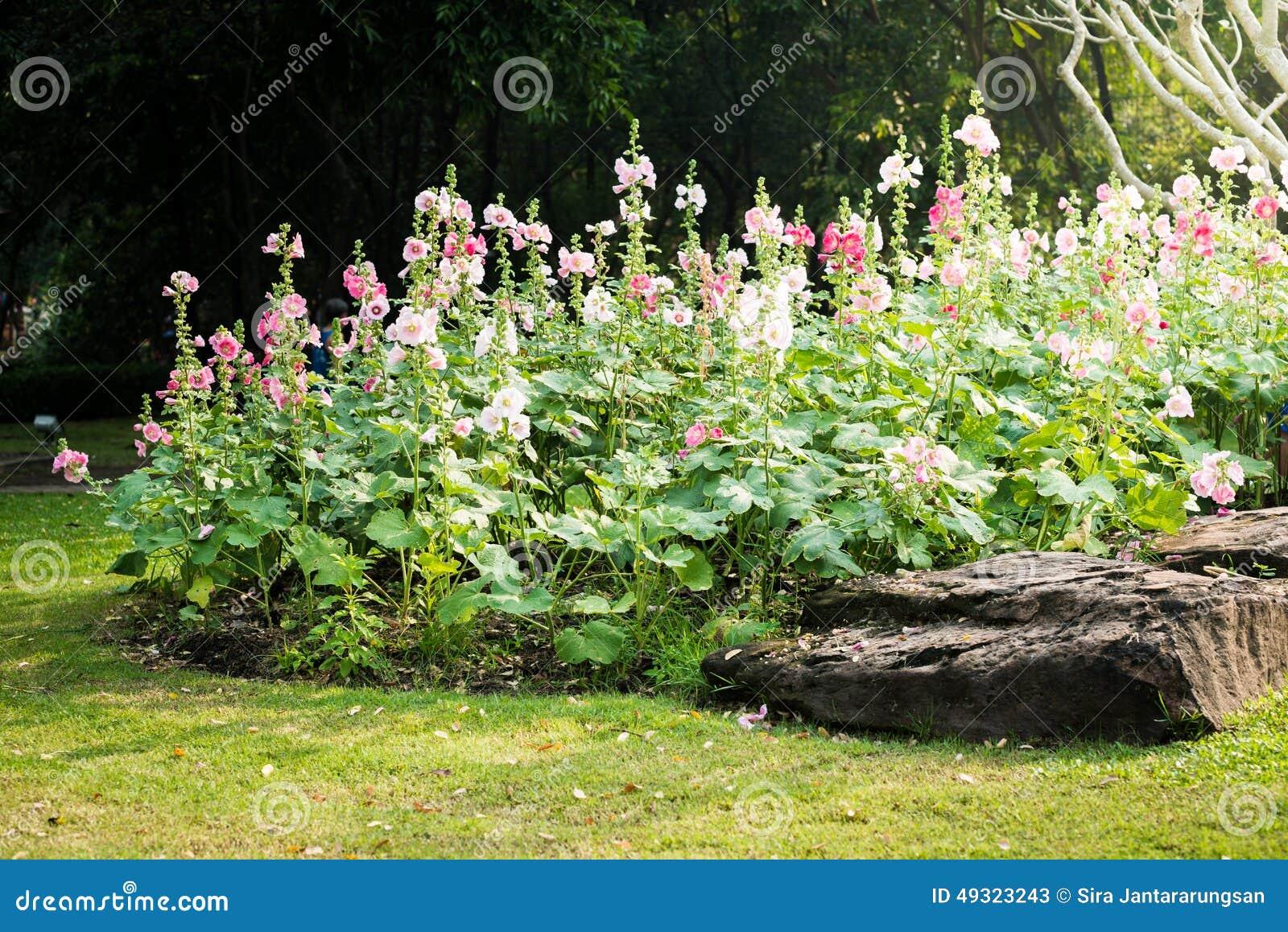 fleur rose et blanche de rose tr mi re image stock image. Black Bedroom Furniture Sets. Home Design Ideas