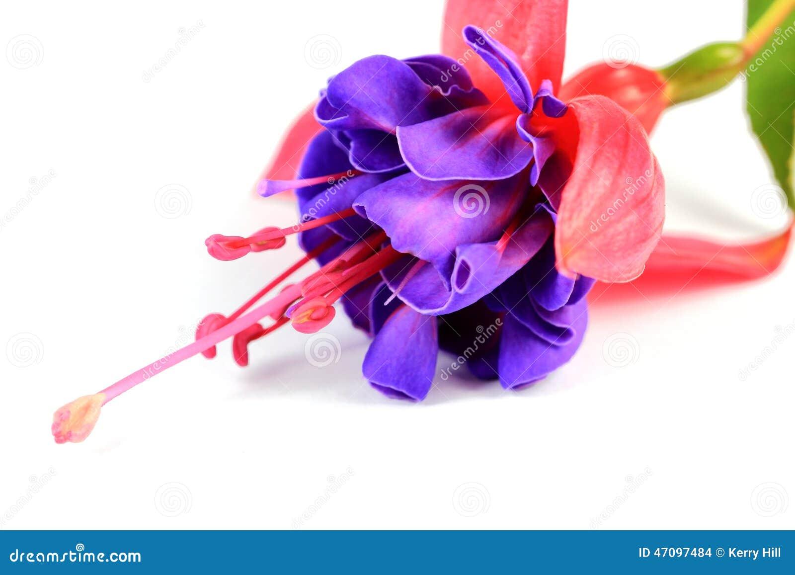 fleur rose et pourpre de fushia photo stock - image: 47097484