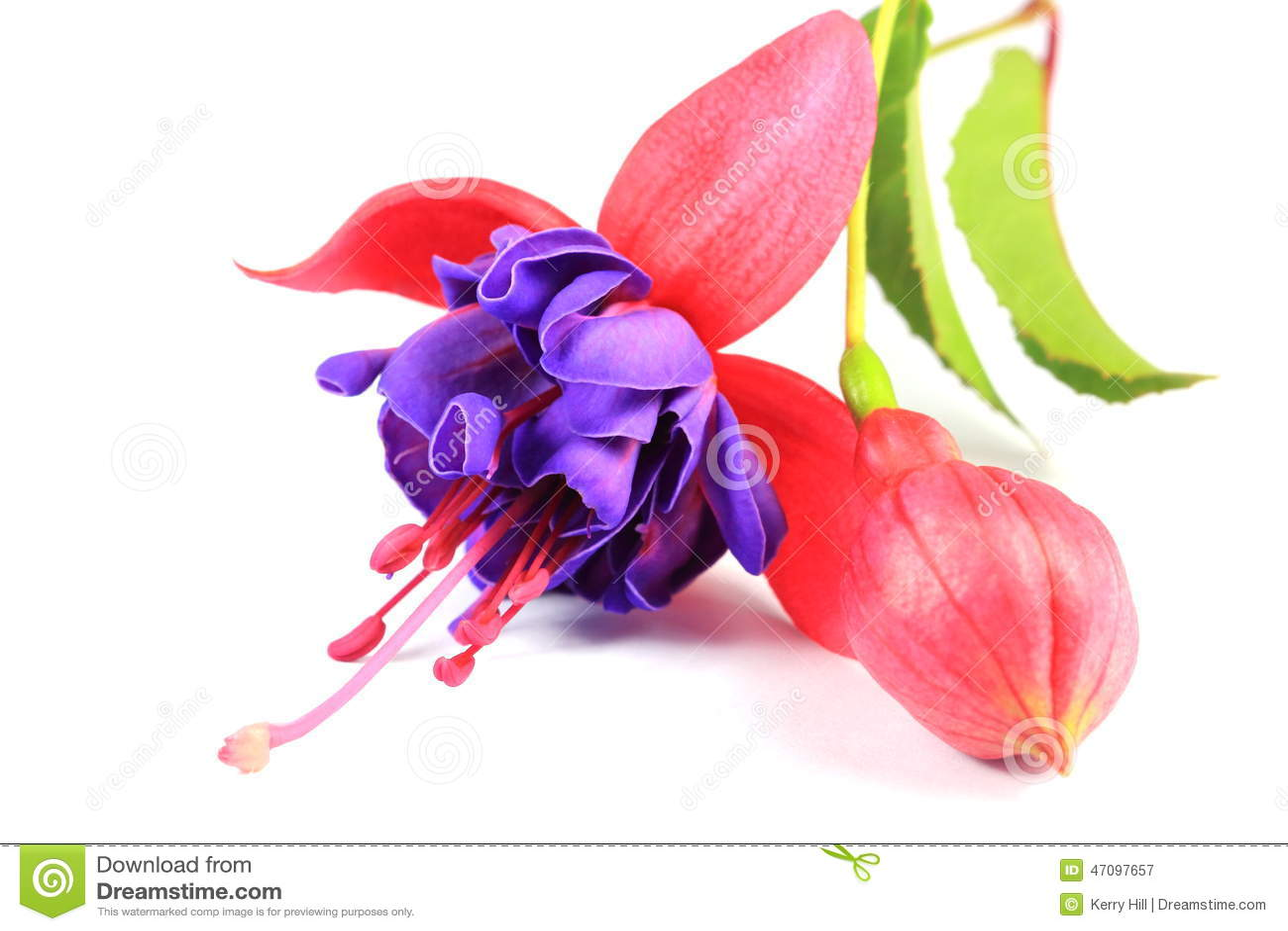 Fleur Rose Et Pourpre De Fushia Image stock - Image du ...