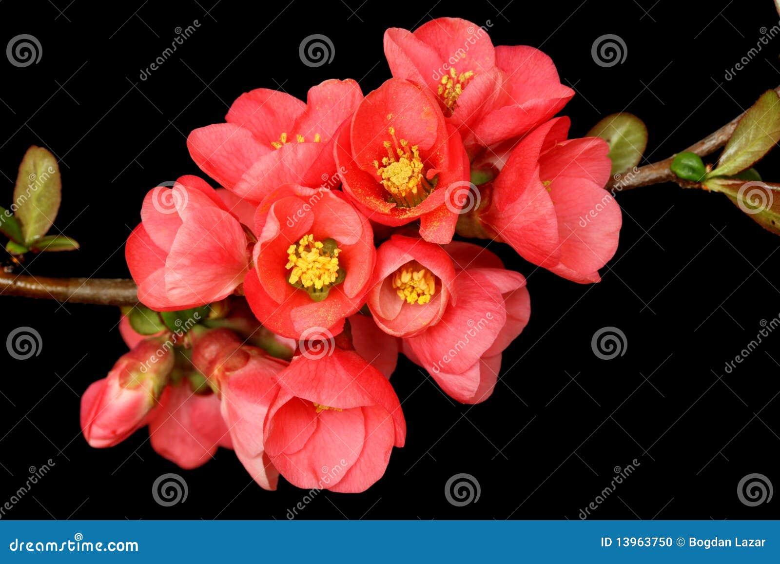 Fleur rose foncée sur le noir