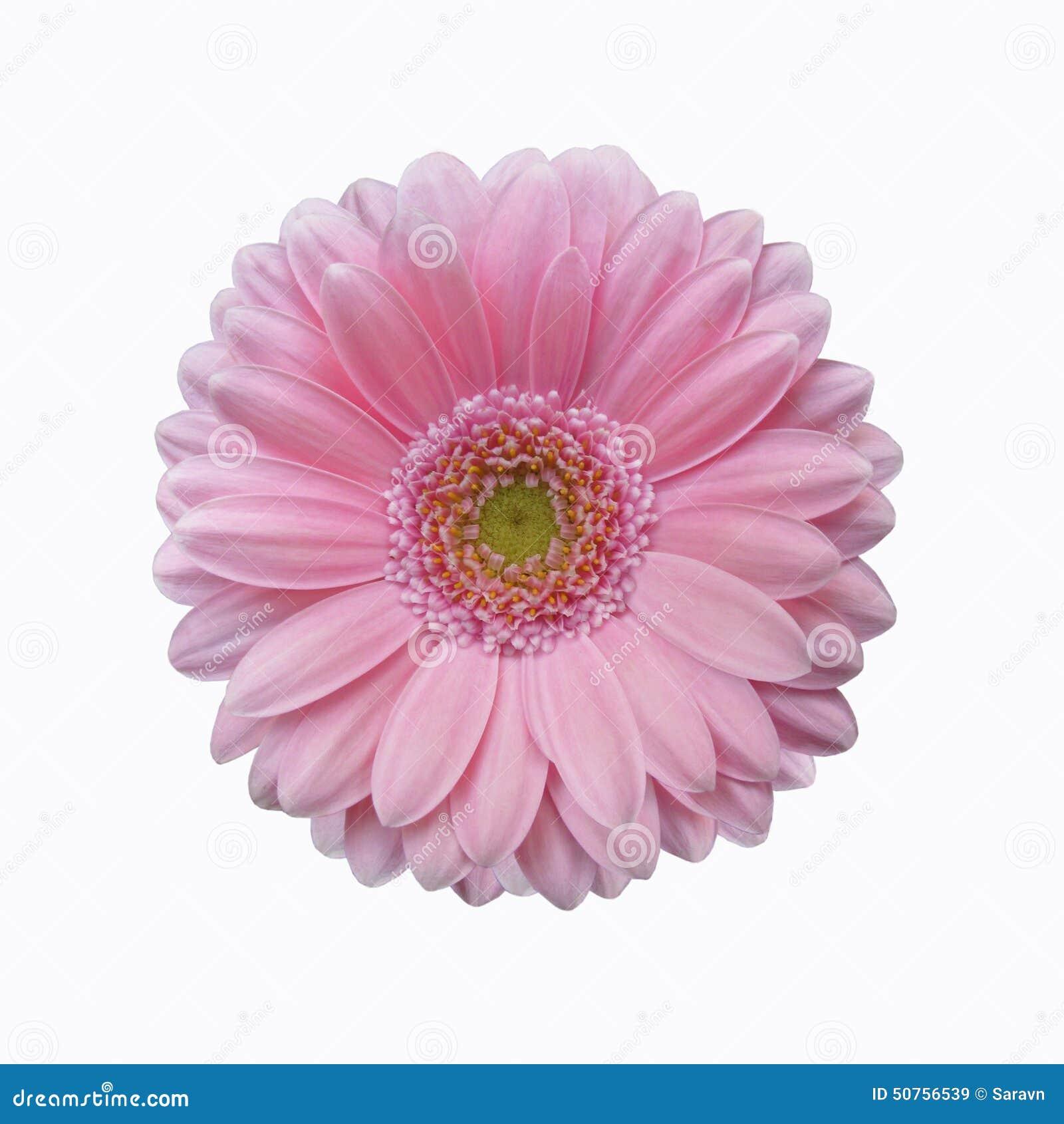 fleur rose d'isolement de marguerite de gerbera images libres de