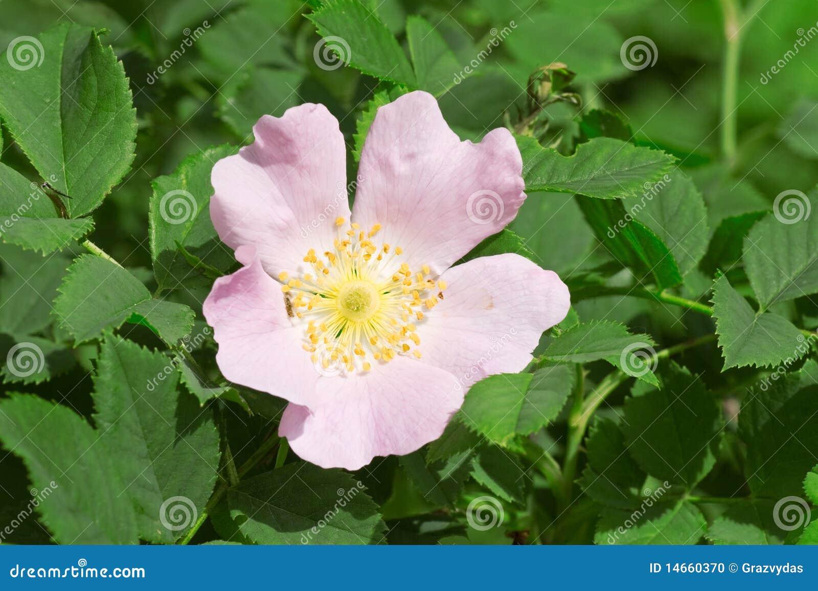 fleur rose sauvage de fleur photo stock - image: 14660370