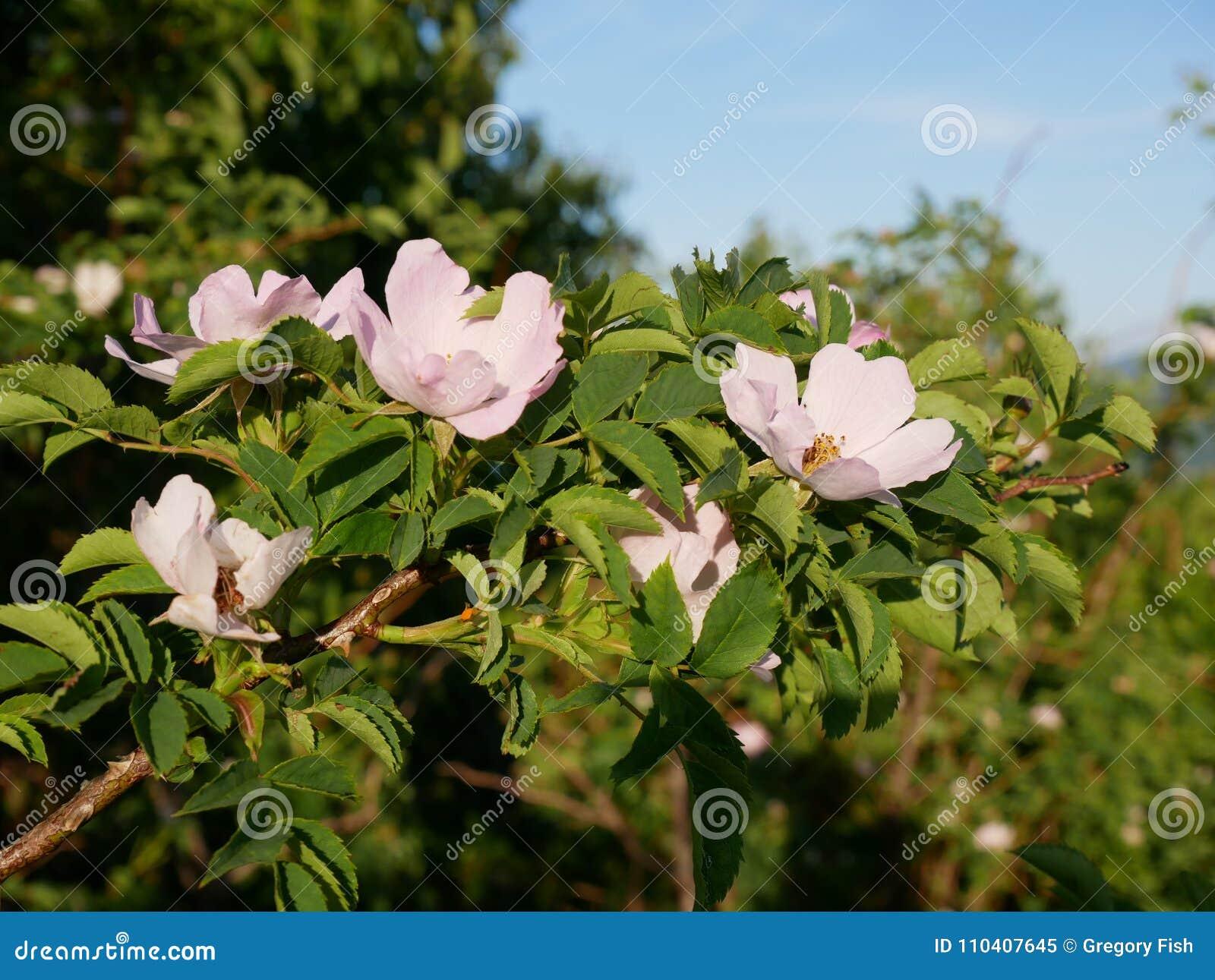 Fleur Rose Rose Sauvage Rose Ou Le Dogrose Fleurit Avec Des Feuilles