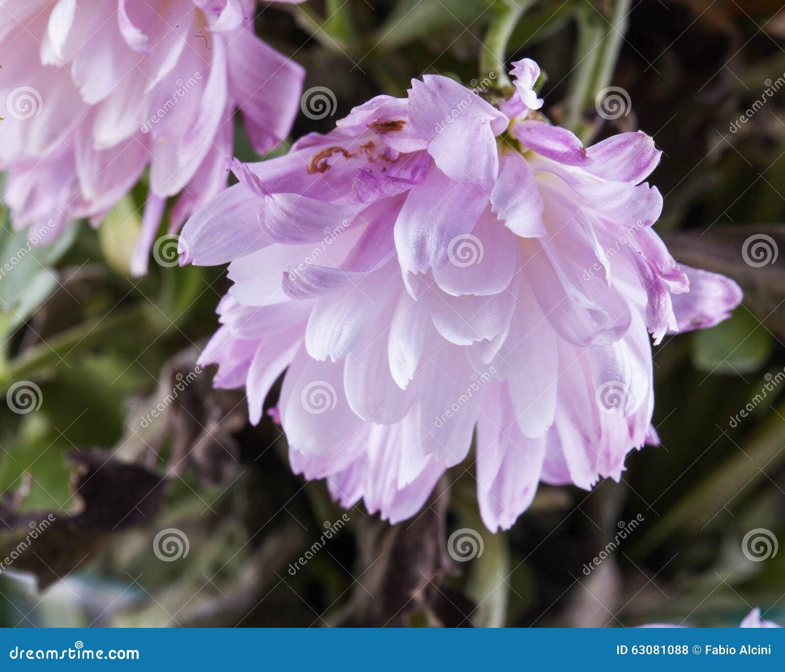 Download Fleur rose sensible photo stock. Image du couleur, fleur - 63081088