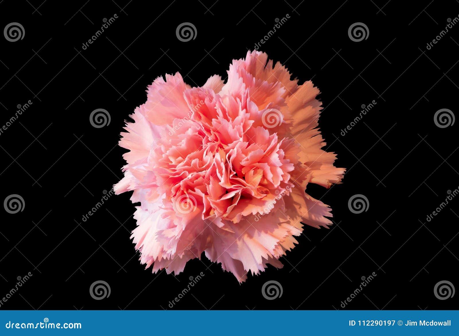 Fleur Rose Simple D Oeillet Sur Le Fond Noir Image Stock Image Du