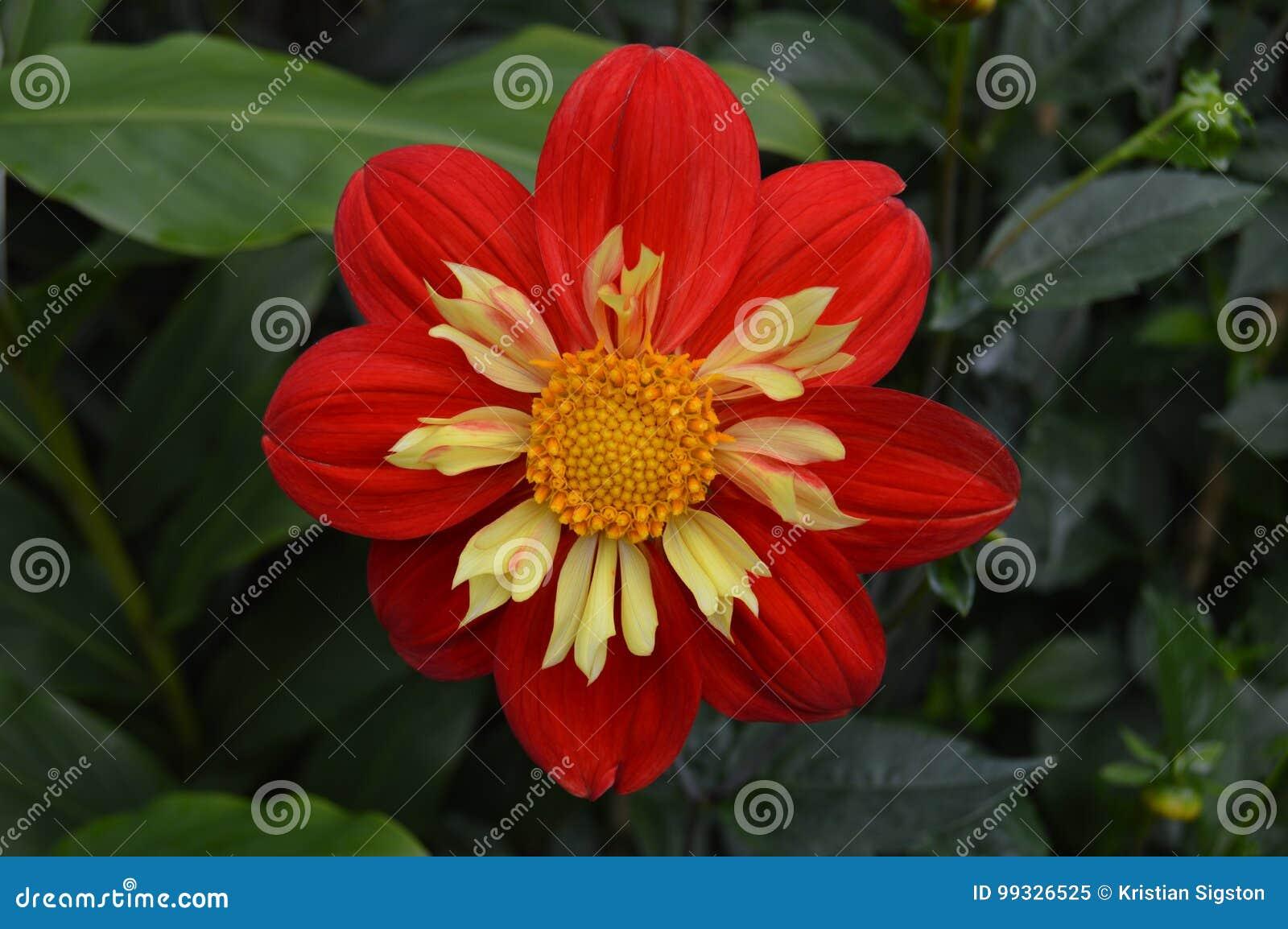 Fleur Rouge Avec Le Jaune A L Interieur Image Stock Image Du Rouge