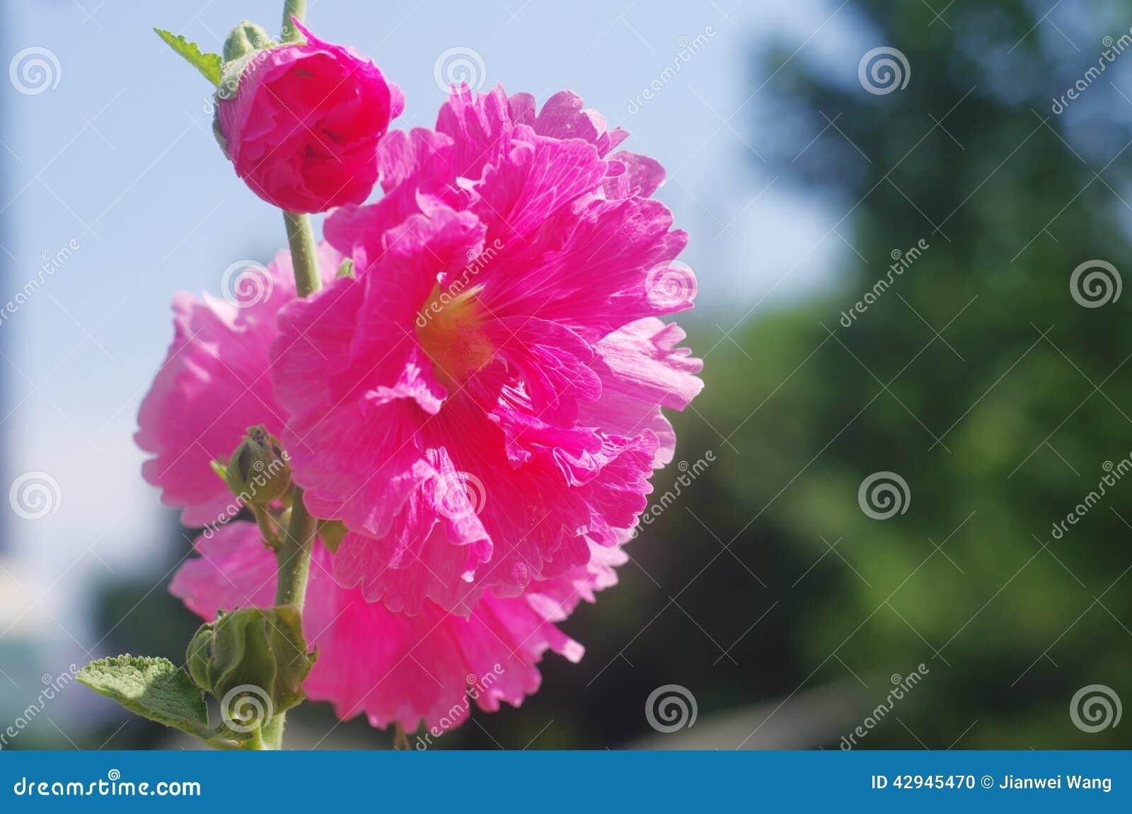 Fleur Rouge D Althea D Arbuste Photo Stock Image Du Althea Beau