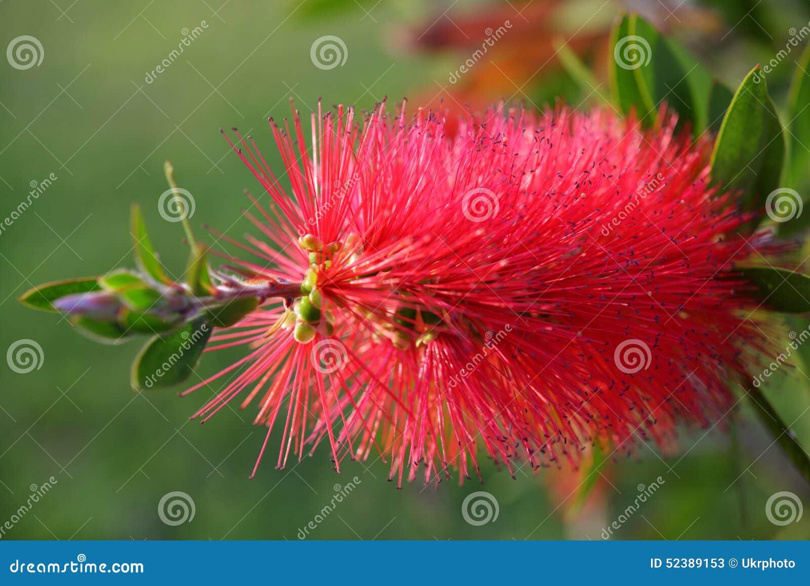 Fleur Rouge D Arbuste De Bottlebrush Image Stock Image Du Arbuste