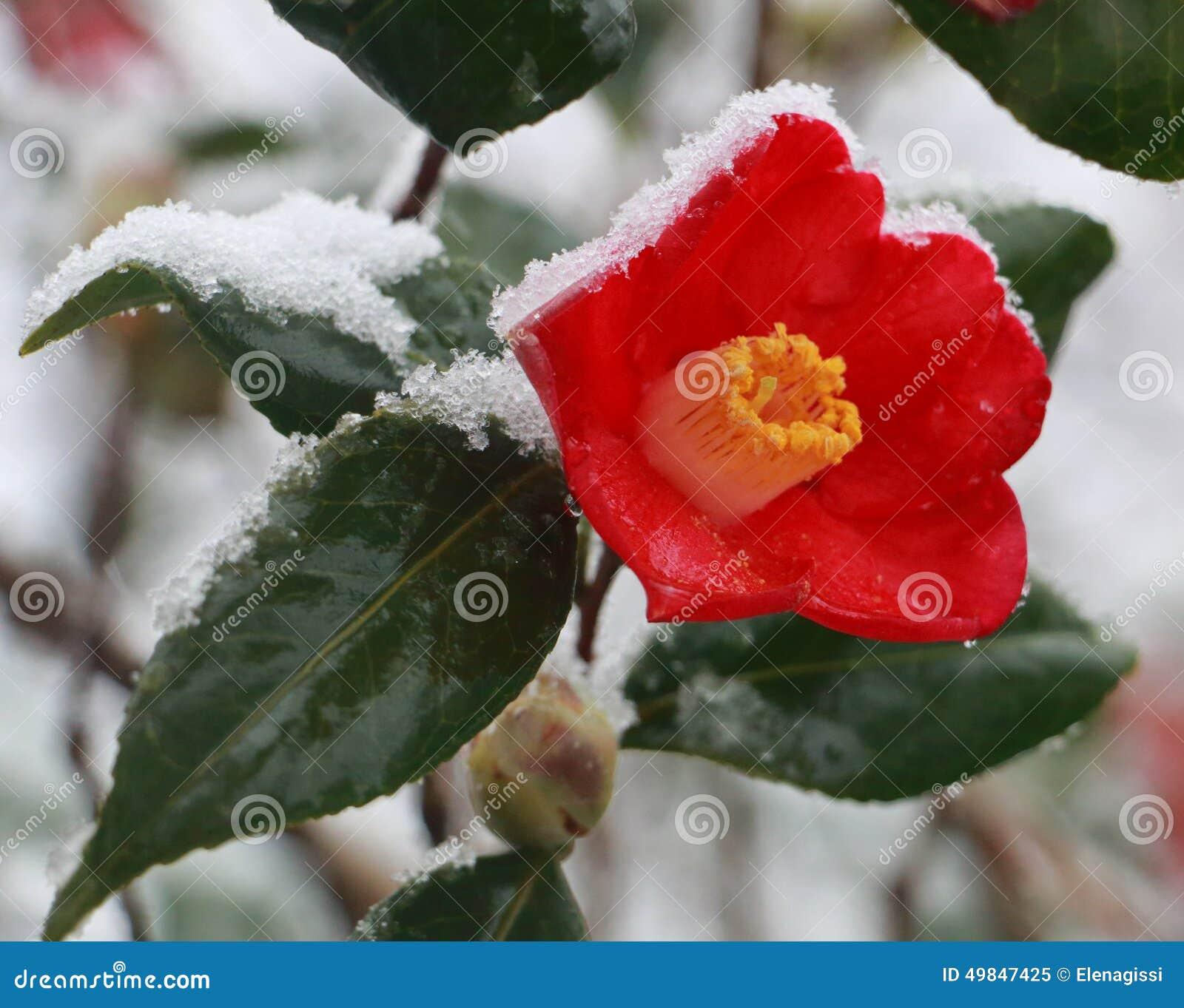 fleur rouge dans la neige cognassier du japon de cam lia photo stock image 49847425. Black Bedroom Furniture Sets. Home Design Ideas