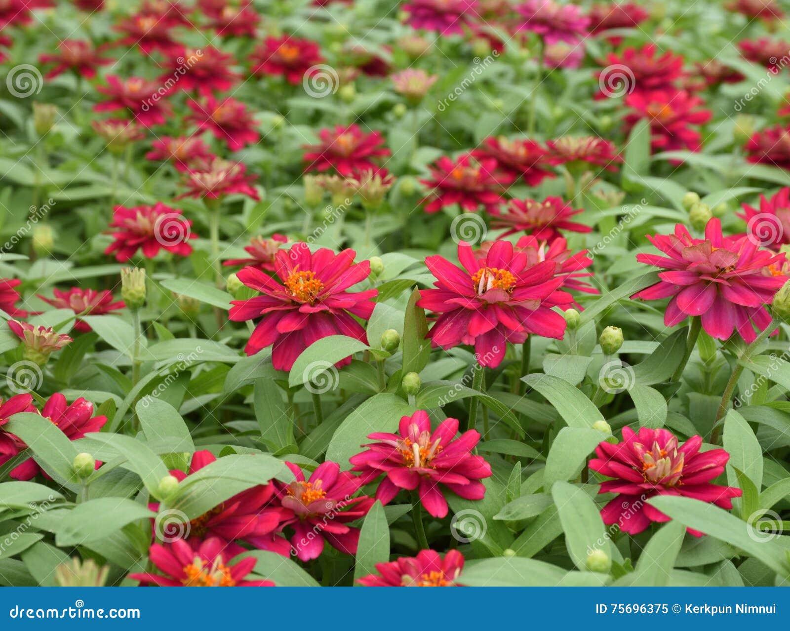 Fleur rouge dans le jardin image stock image du fleur for Fleurs dans le jardin