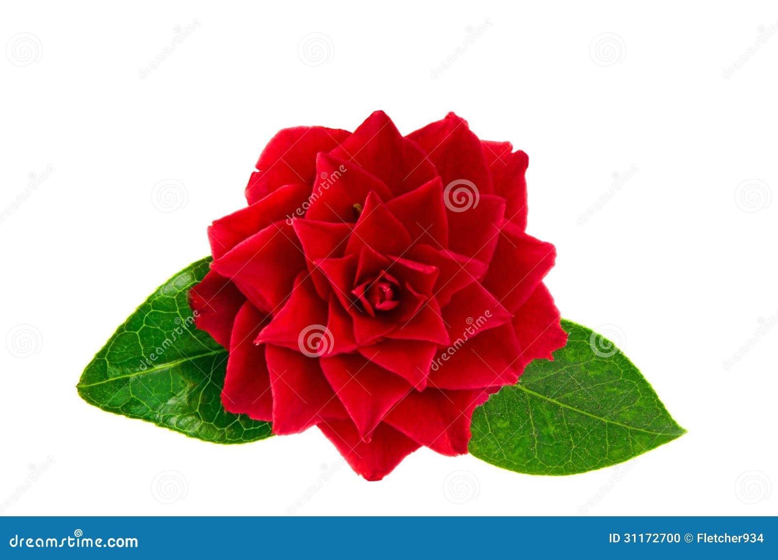 fleur rouge de cam lia photo stock image 31172700. Black Bedroom Furniture Sets. Home Design Ideas