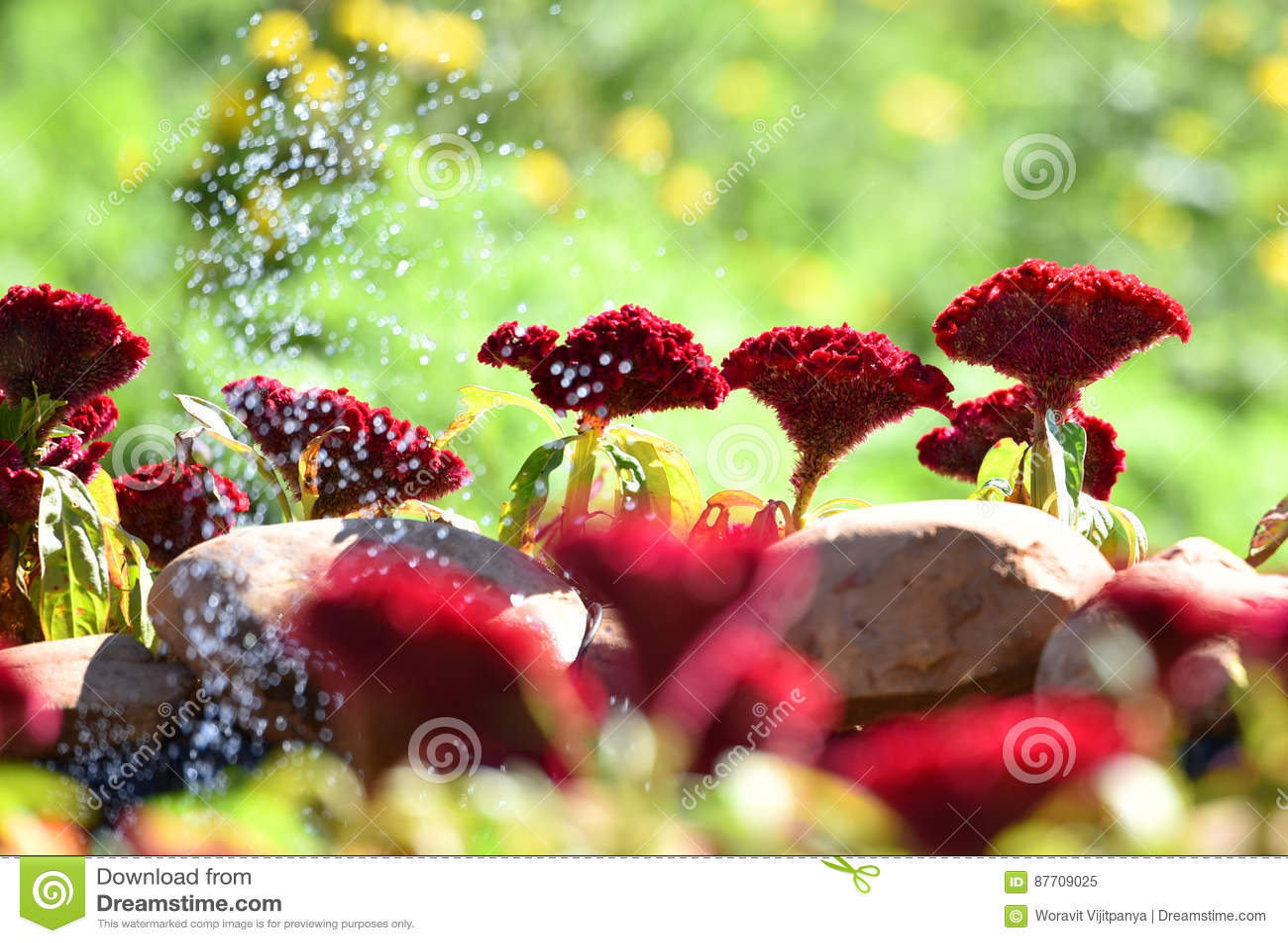 Fleur rouge de crête