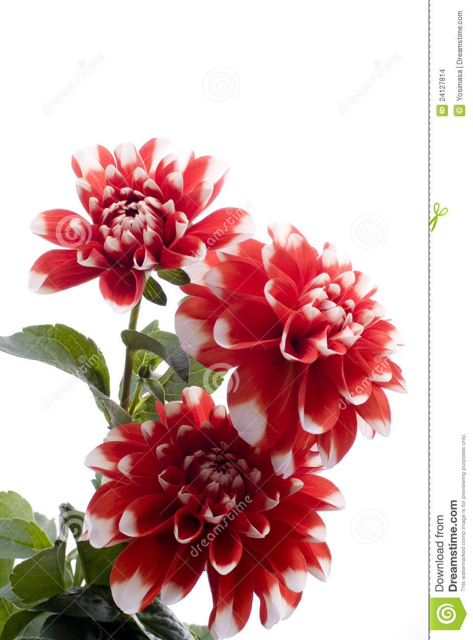 fleur rouge de dahlia photo stock image du closeup. Black Bedroom Furniture Sets. Home Design Ideas