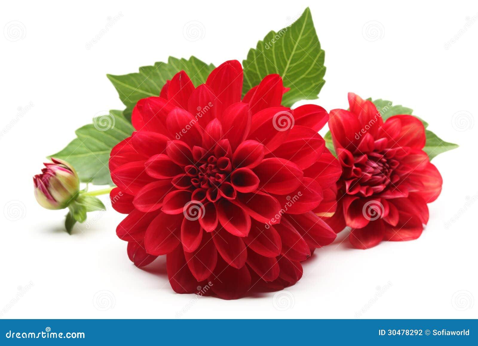 fleur rouge de dahlia photographie stock image 30478292. Black Bedroom Furniture Sets. Home Design Ideas