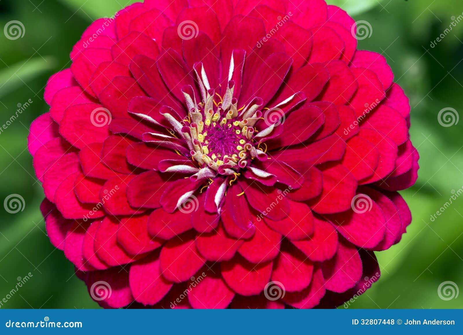fleur rouge de dahlia en été photos libres de droits - image: 32807448