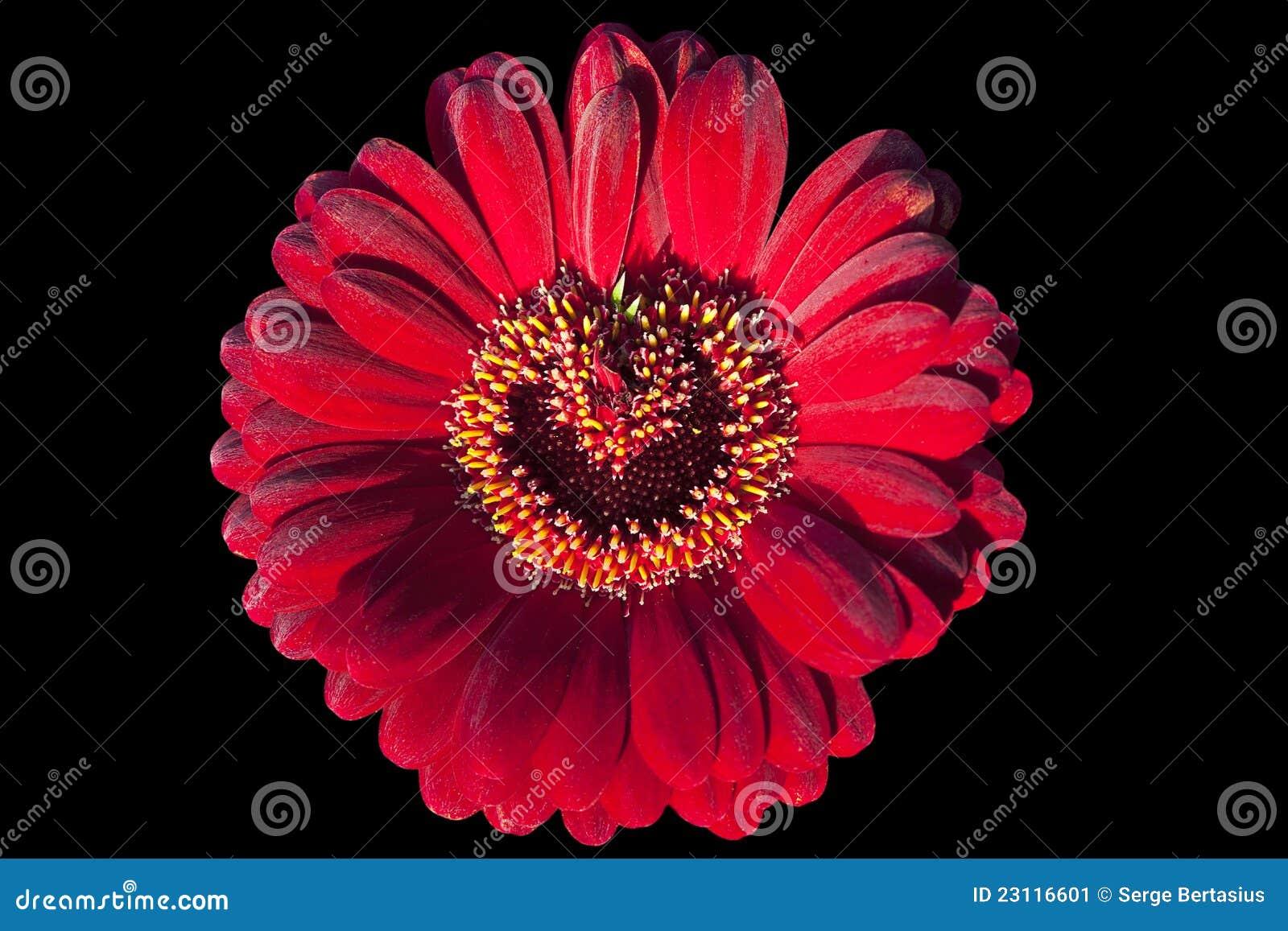 Fleur Rouge De Gerbera Image Stock Image Du Marguerite 23116601