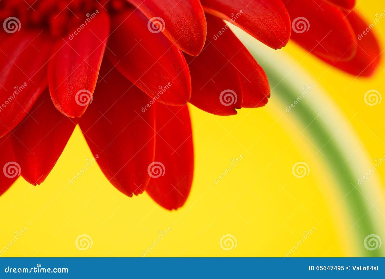 Fleur rouge de gerbera d isolement au-dessus du fond jaune