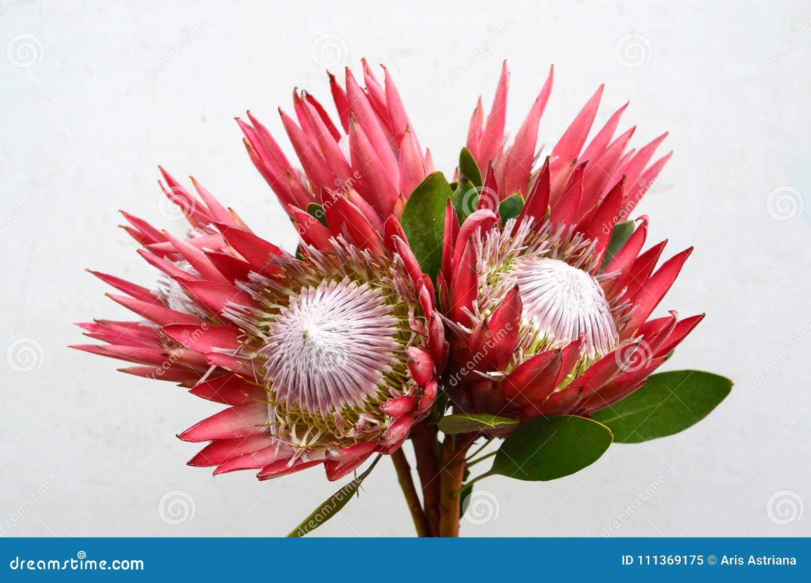 Fleur Rouge De Glace De Rose De Protea Sur Le Fond Blanc Image Stock