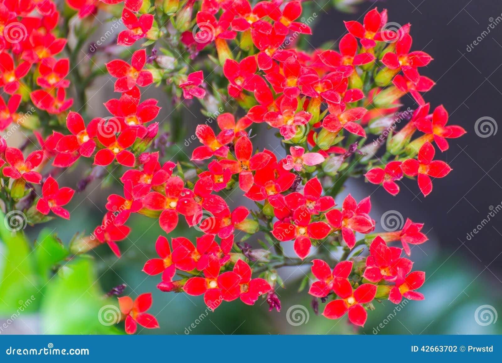 Fleur Rouge De Kalanchoe Photo Stock Image Du Photographie 42663702
