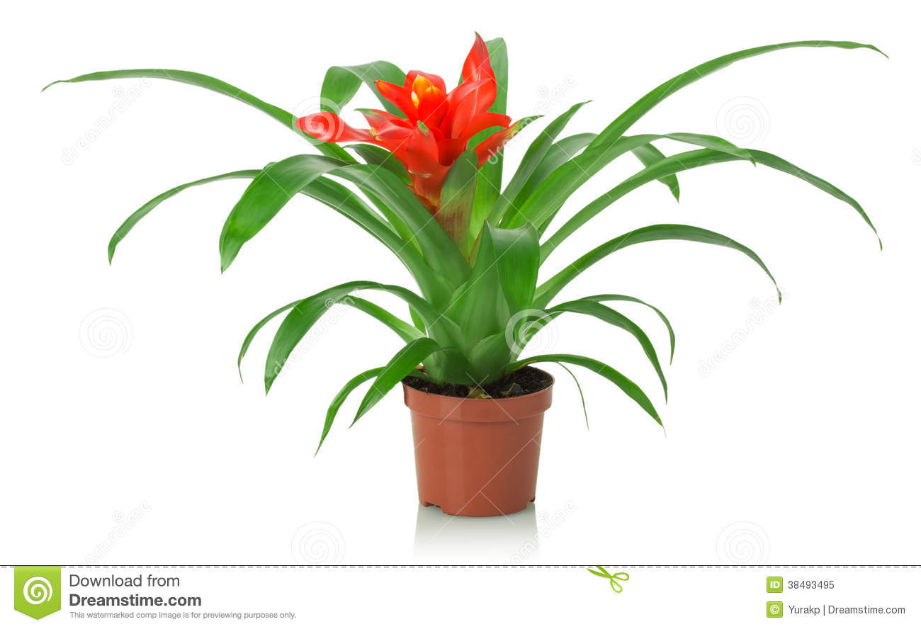 Fleur rouge de plante d 39 int rieur sur un fond blanc photo libre de droits - Plante d interieur photo ...