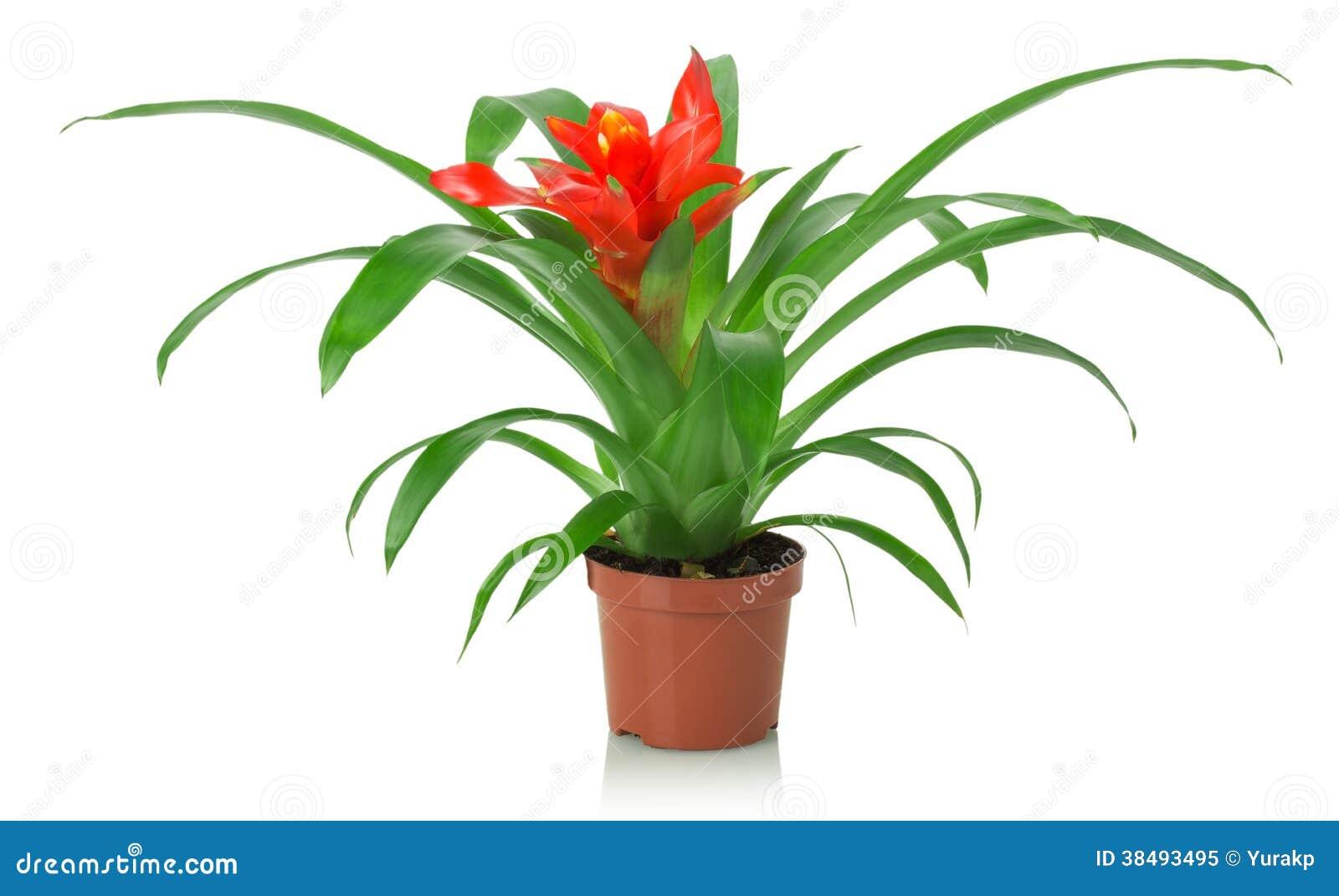 Fleur rouge de plante d 39 int rieur sur un fond blanc photo libre de droits - Plante de l interieur ...