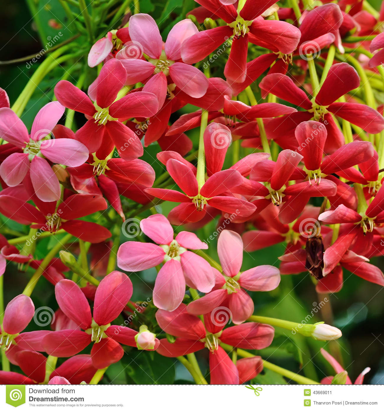 Fleur rouge de plante grimpante de rangoon photo stock image 43669011 - Plantes a fleurs rouges ...