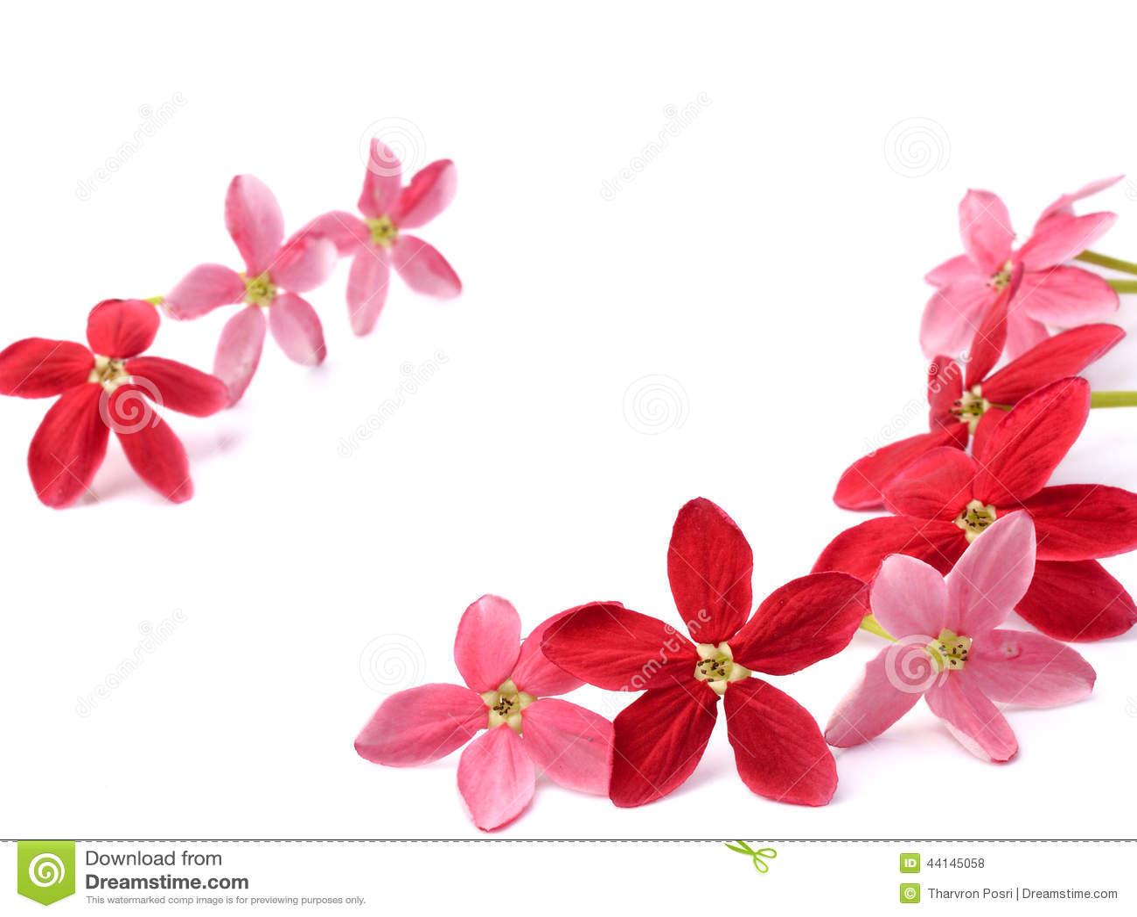 Fleur rouge de plante grimpante de Rangoon sur le fond blanc
