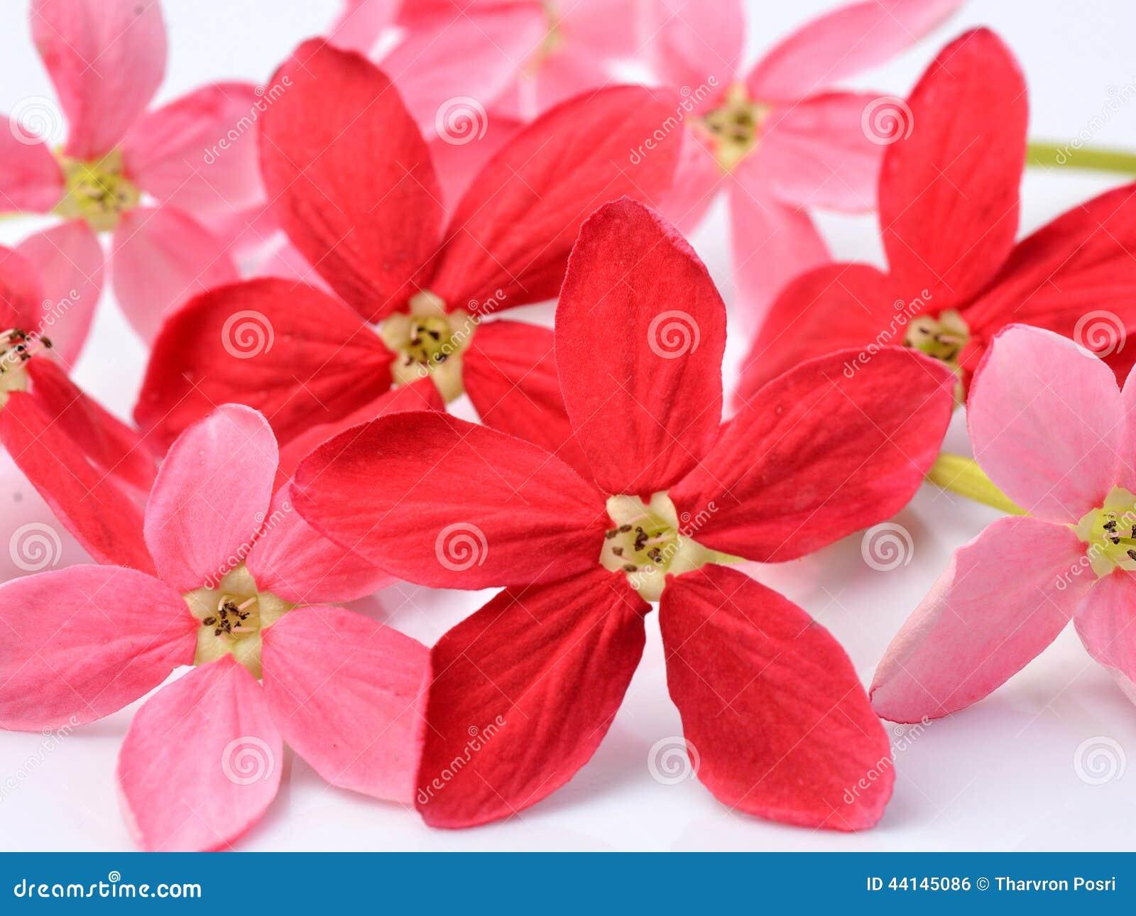 Fleur rouge de plante grimpante de rangoon sur le fond blanc photo stock image 44145086 - Plante fleur rouge ...