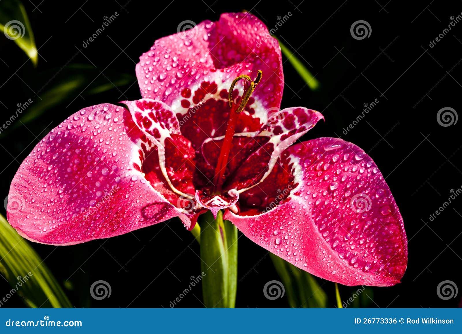 Fleur rouge de tigridia