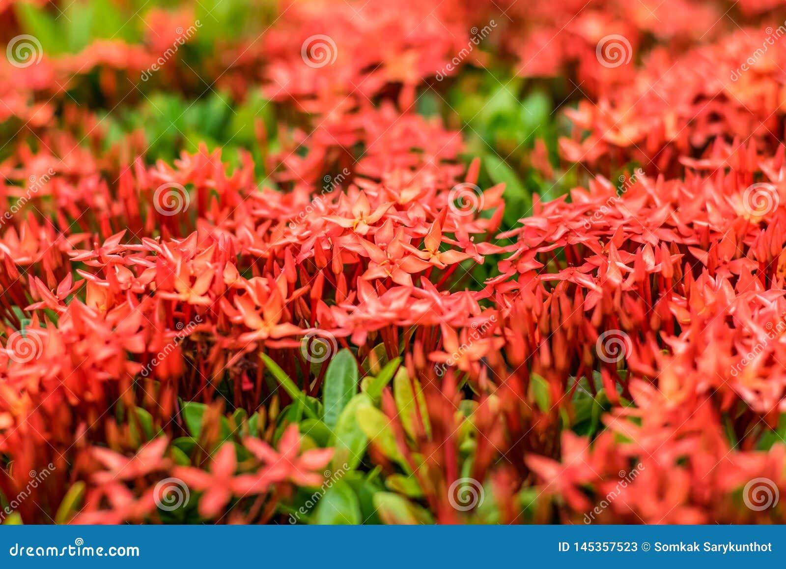 Fleur rouge de transitoire