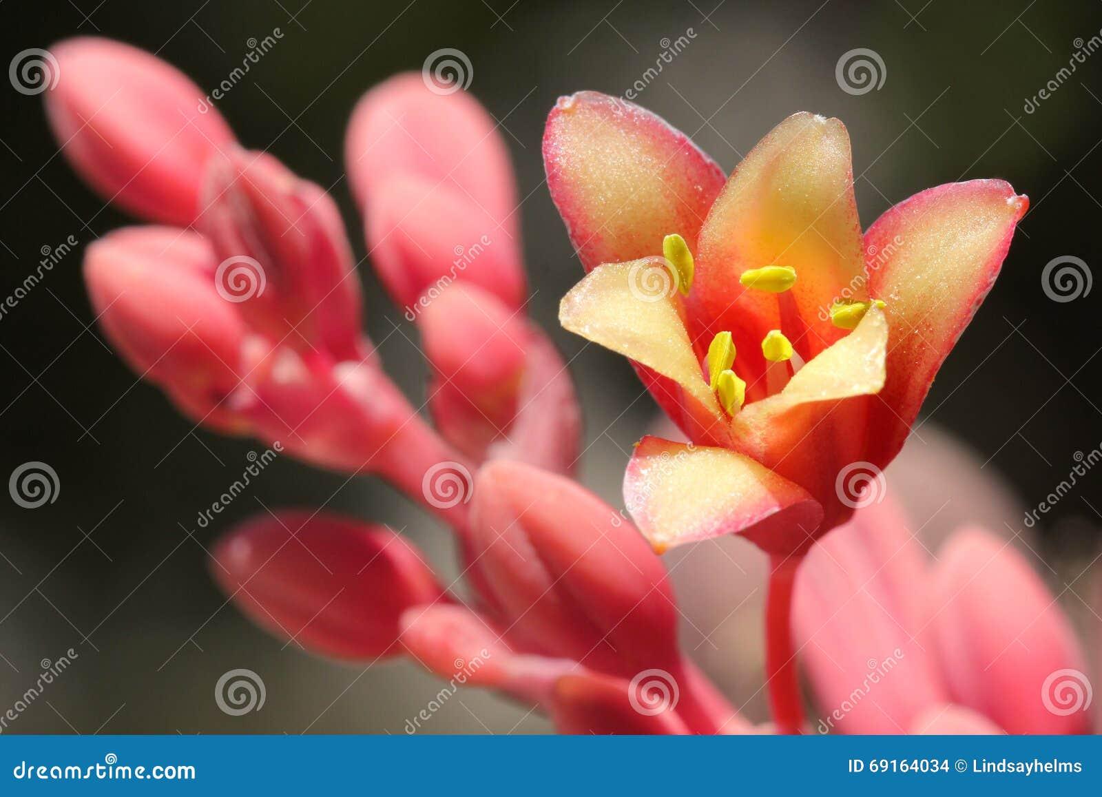 Fleur rouge de yucca