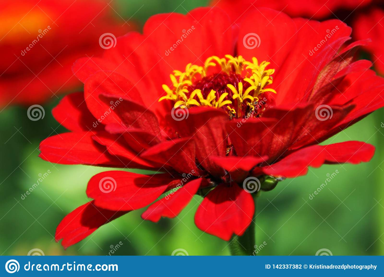 Fleur rouge de zinnia dans un jardin luxuriant