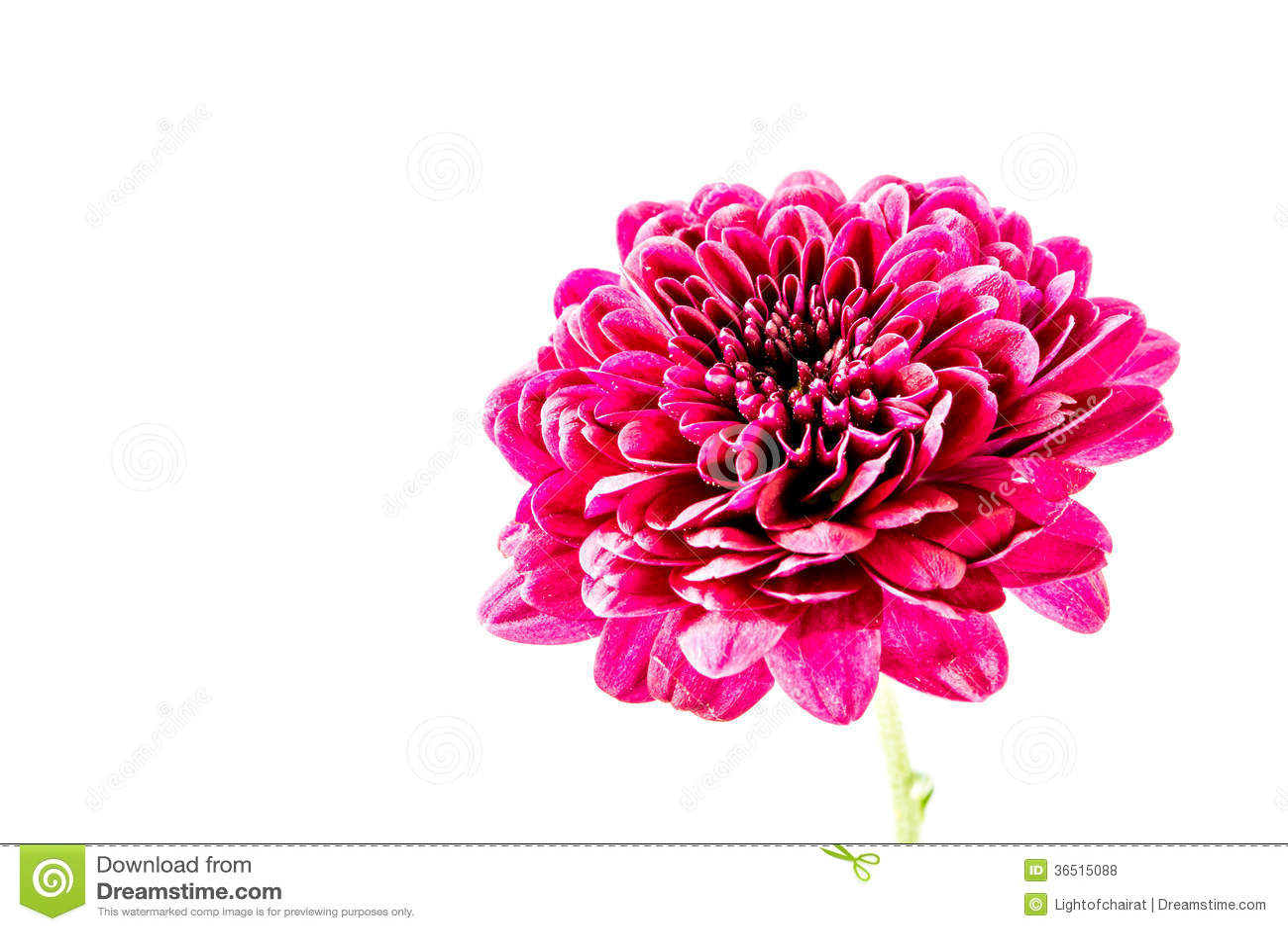 Fleur rouge en gros plan de dahlia