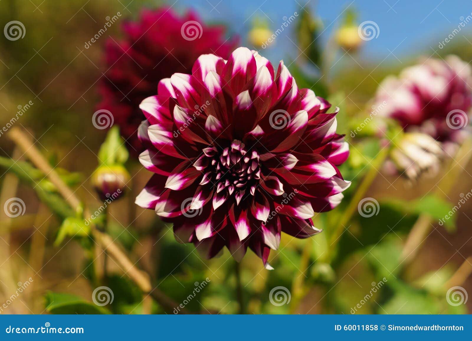 Fleur rouge et blanche en fleur