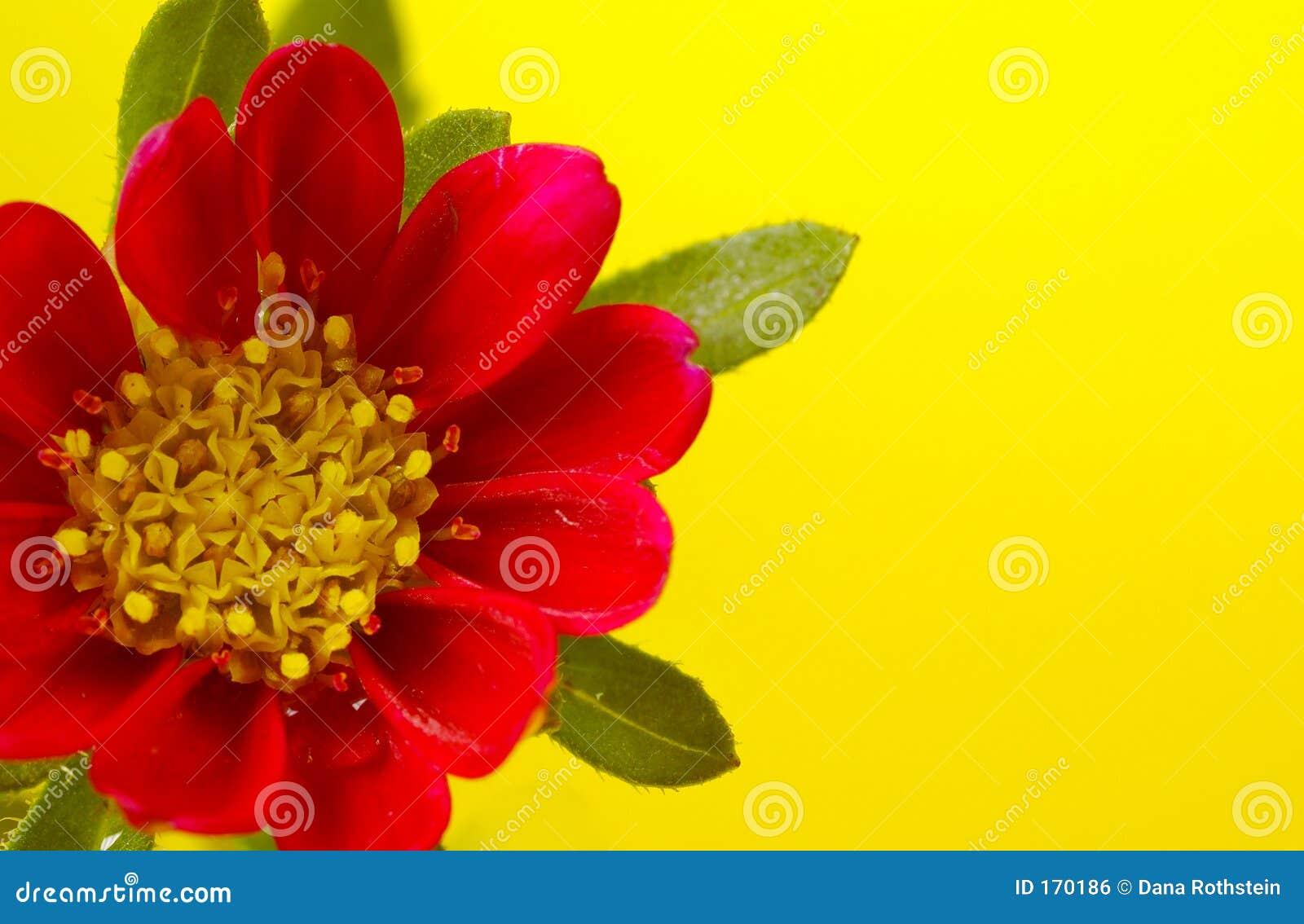 fleur rouge et jaune image libre de droits image 170186. Black Bedroom Furniture Sets. Home Design Ideas