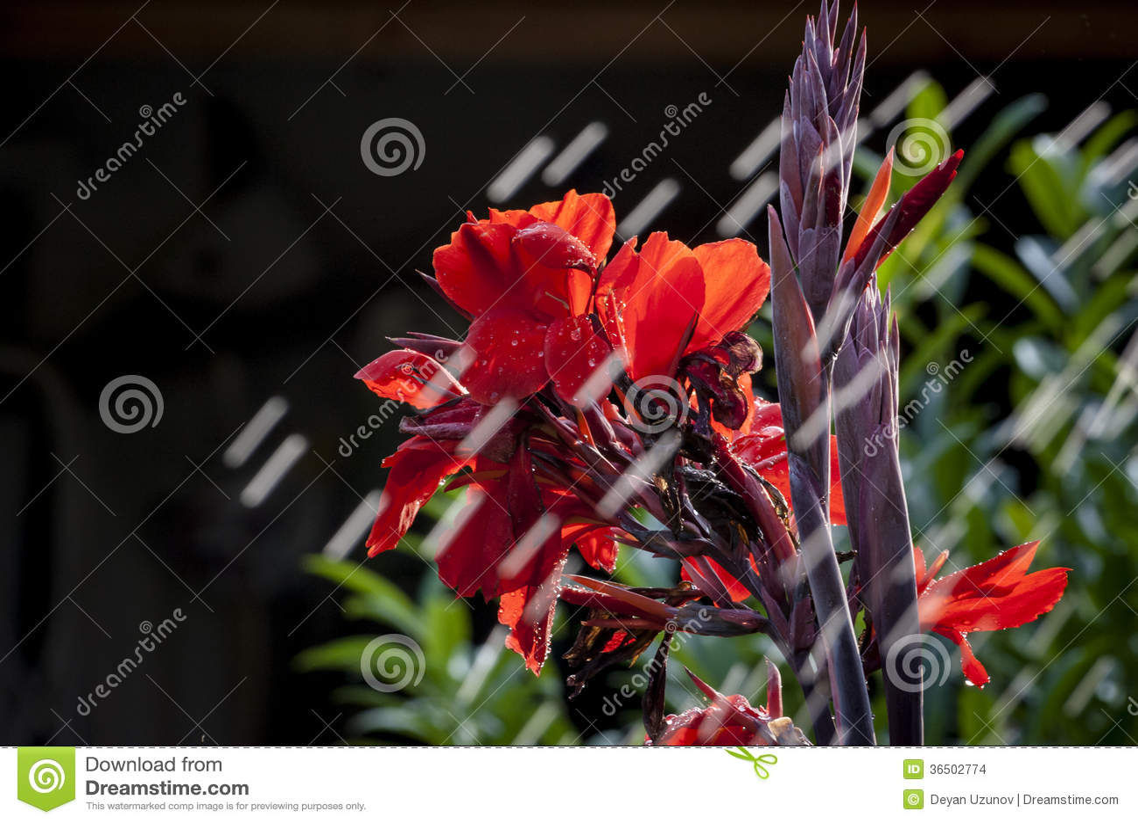 Fleur rouge et la pluie d abattage