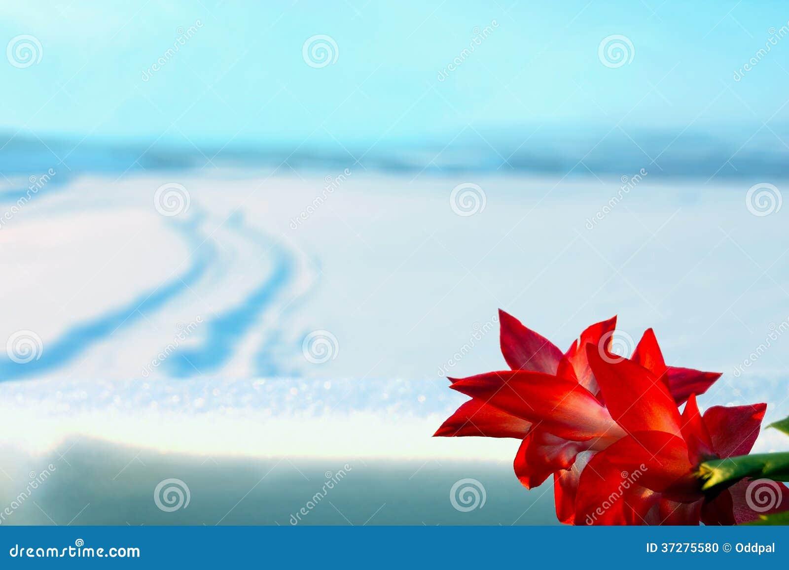 Fleur rouge et paysage d 39 hiver photo stock image 37275580 - Fleur d hiver exterieur ...