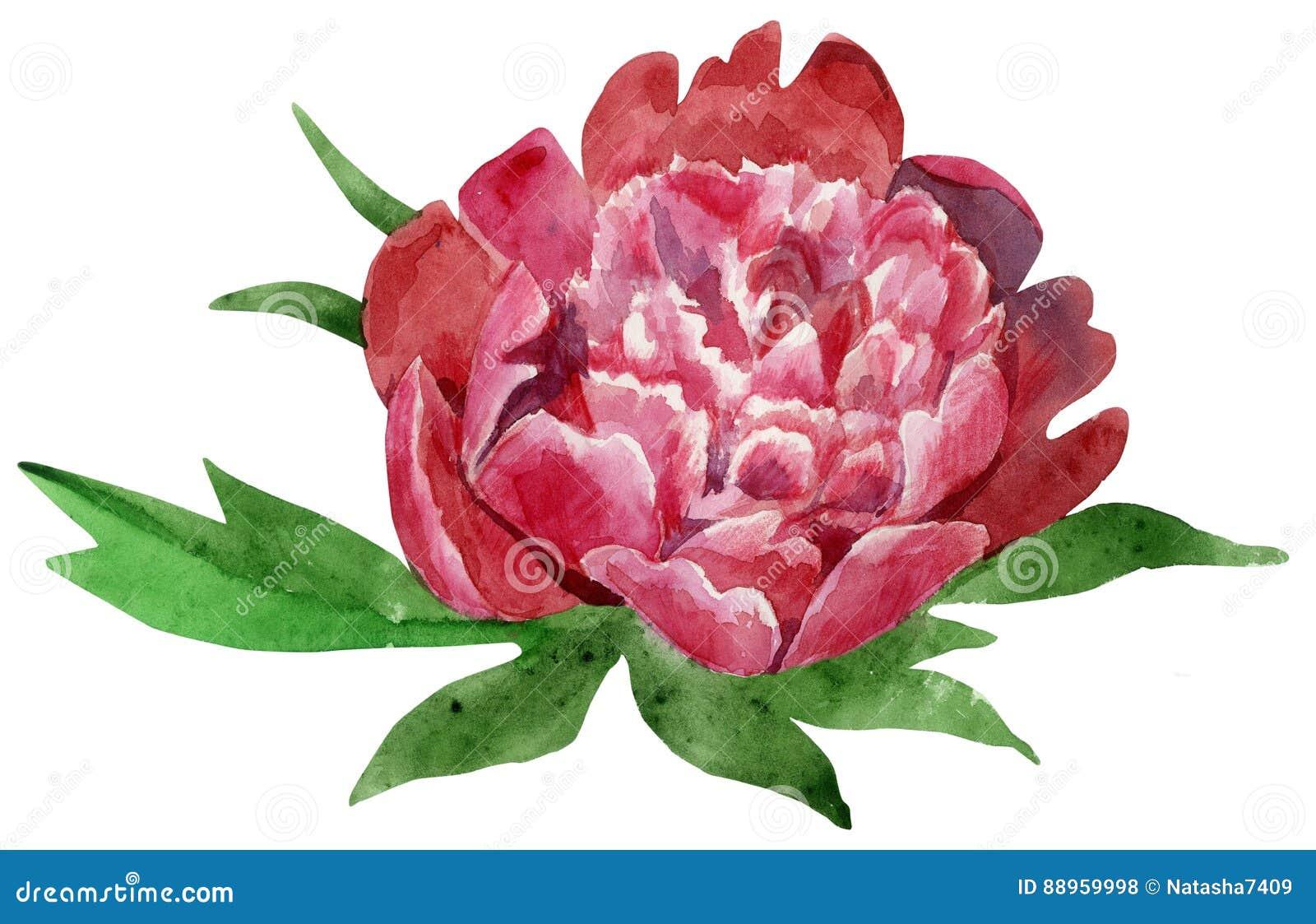 Fleur Rouge Fonce Magnifique De Pivoine Avec Des Feuilles Illustra D