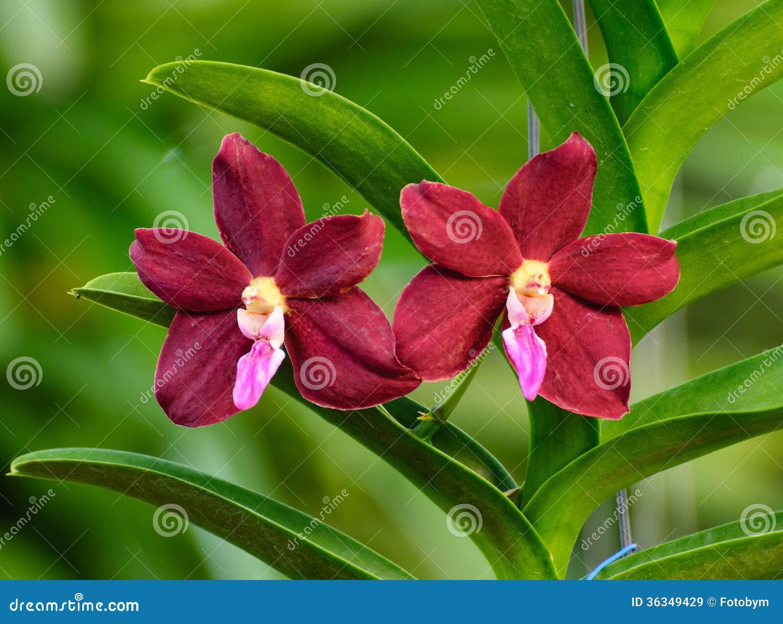 orchidee vanda rouge