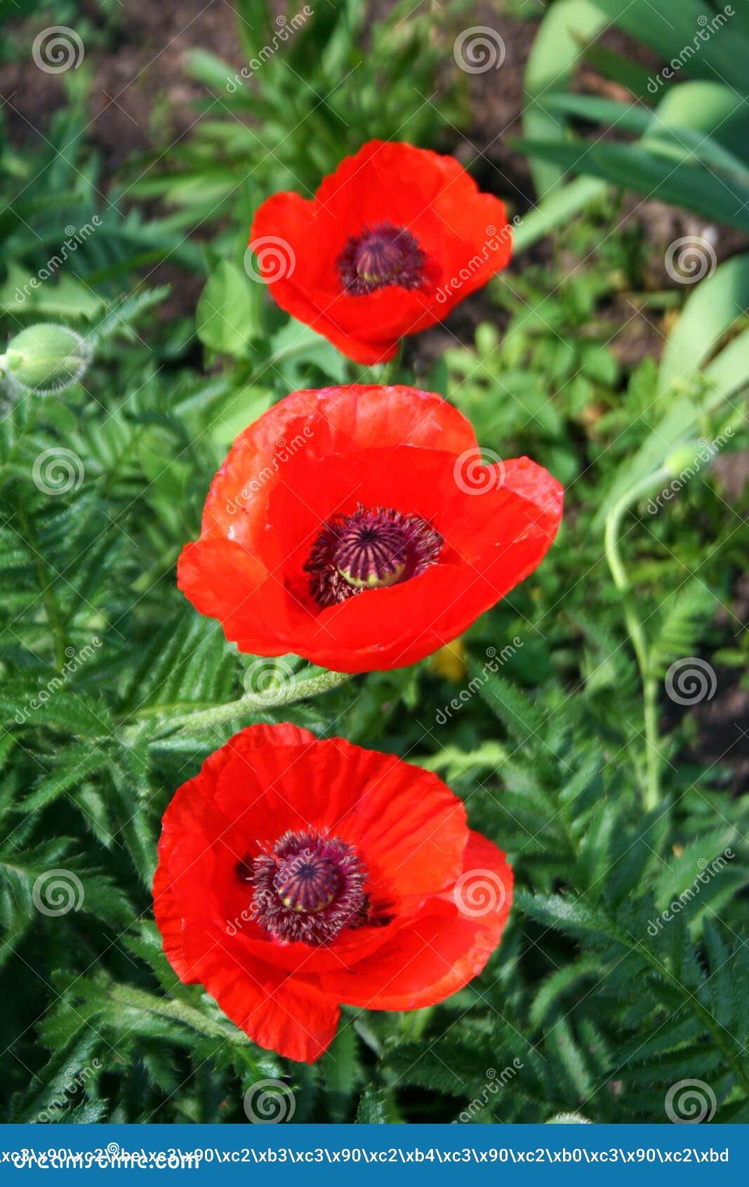 Fleur rouge sauvage de trois pavots