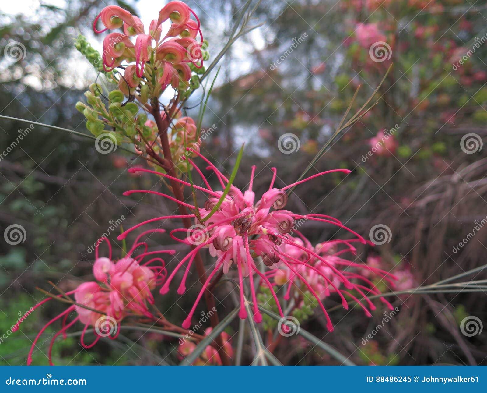 Fleur Rouge Sur L Arbuste De Grevillea Image Stock Image Du