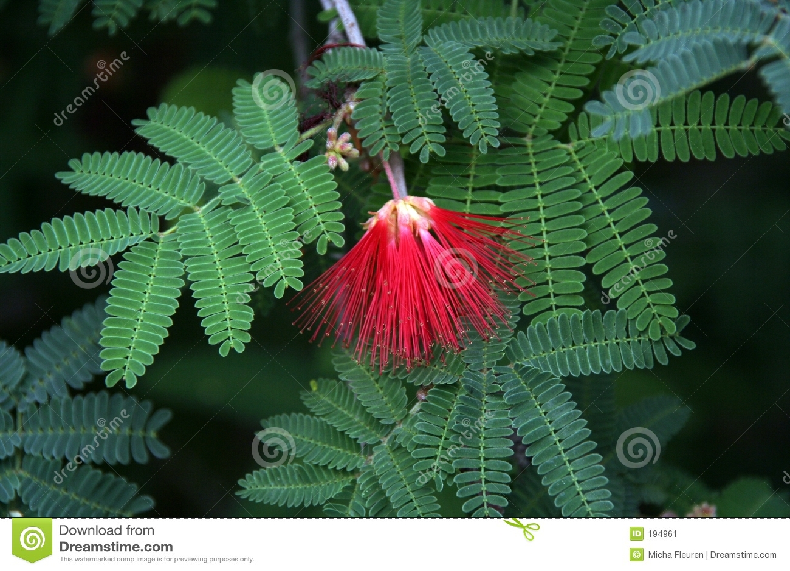 Fleur rouge sur les lames vertes