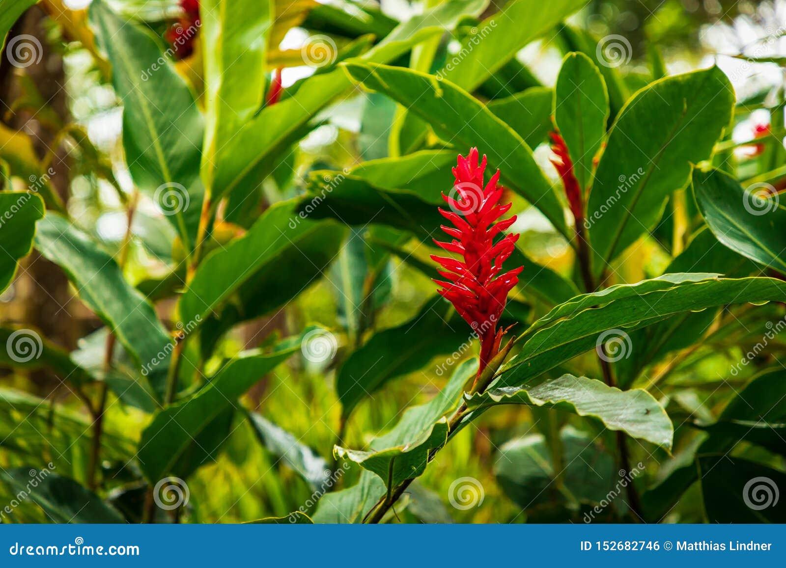 Fleur rouge, Zingiber, République Dominicaine tropicale, des Caraïbes,