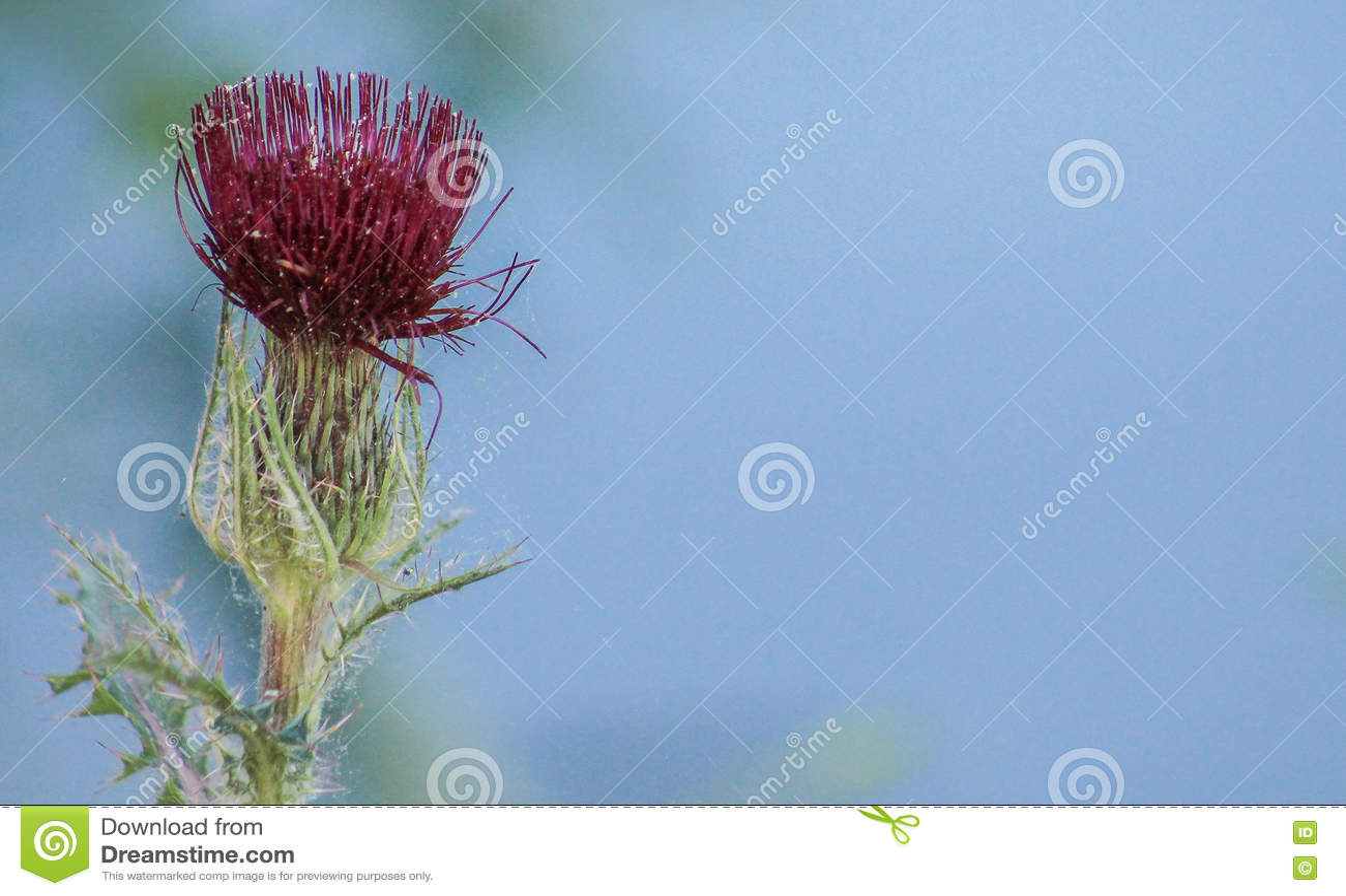 Fleur Seche De Chardon Image Stock Image Du Carolina 73601083